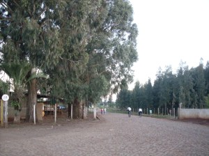Eucaliptos1