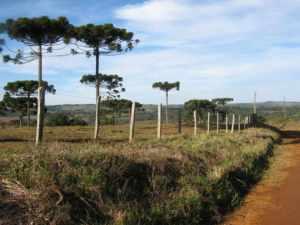 pinheiros clevelandia